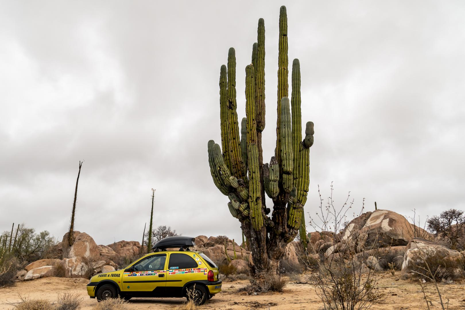 Mexico - Giant cactuses (1)